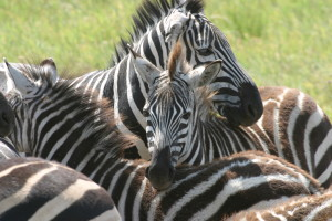 zebra bunch